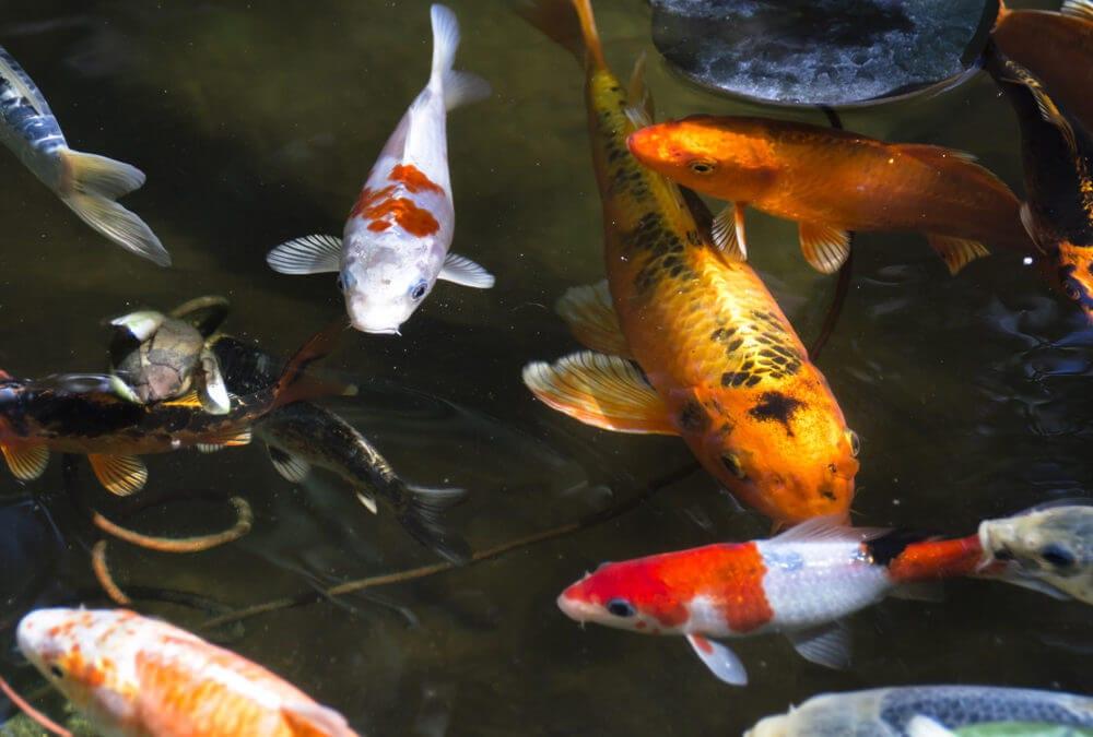 Drought Tolerant Koi Pond